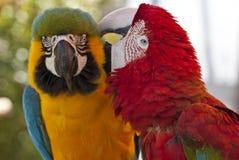 Macawspflegen Lizenzfreies Stockbild