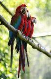 Macawvögel Lizenzfreie Stockfotos