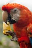 Maccaw鹦鹉 图库摄影
