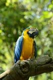 Maccaw azul & amarelo Foto de Stock Royalty Free