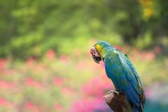 Maccaw bird with nature bokeh abstract. Colorful green macaw parrot bird sitting on branch twig with blurred bokeh flower and leaf abstract background and copy Stock Photos