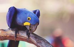 Maccaw de jacinthe Photos libres de droits
