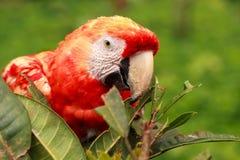 Maccaw-Papagei lizenzfreies stockbild