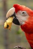 Maccaw-Papagei stockfotografie