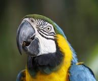 Maccaw-Papageien-Porträt Stockfotografie