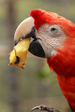 Scarlet Macaw Parrot Eating Pineapple Stock Photography