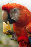 Free, Red Scarlet Macaw Parrot Stock Photography