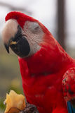 The Scarlet Macaw Parrot Eating Pineapple Stock Photography