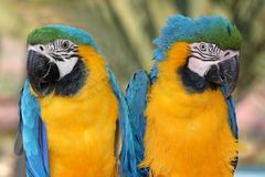 Maccaw Parrot Pair. Two beautiful maccaw parrots with green yellow and blue feathers Royalty Free Stock Photo