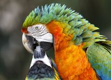 Maccaw Parrot Pair. Beautiful Maccaw Parrot mates feeding each other Stock Photography