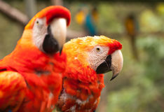 Scarlet Macaw Pair Parrot. Close Up Of Scarlet Macaw Parrot Pair In The Amazonian Rainforest, South America Royalty Free Stock Image