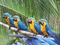 4 maccaws que se sientan en una rama que espera para ser alimentado fotos de archivo