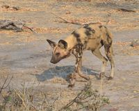Macchie di sangue deboli del cane selvaggio Fotografie Stock