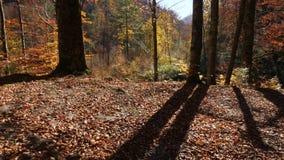 Macchina fotografica che cammina fuori sulla rottura della foresta di autunno stock footage