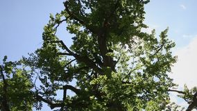 Macchina fotografica che gira nell'ambito delle cime dell'albero, coperte di foglie verdi, sole che splende attraverso i rami, gi video d archivio