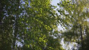 Macchina fotografica della foresta della betulla che si muove in avanti al tramonto, fine sul colpo, salto del vento stock footage