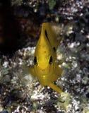 Macchina fotografica gialla del rivestimento dei pesci del Damsel sulla barriera corallina Fotografie Stock Libere da Diritti