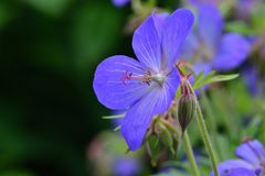 Lilac coloured geranium. Maccro shot of a liliac coloured geranium flower in bloom royalty free stock image