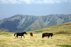 Macedonia, ex Yugoslav republic. South Europe. Wild horses on the mountain Stock Photography