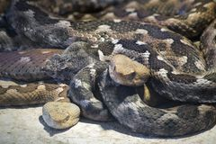 Macedonian Horned Viper Royalty Free Stock Photography