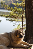 macedonian psia baca Obraz Royalty Free