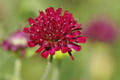 Macedonian Scabious Stock Photography