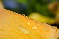 Maceo de la flor de Pensy Fotografía de archivo
