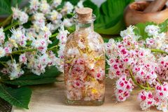 Macerating horse chestnut blossoms in alcohol, to prepare homemade tincture stock images