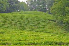 Macesta Самый северный чай в мире стоковые изображения rf