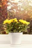 Maceta con el crisantemo amarillo en travesaño de la ventana Fotografía de archivo libre de regalías
