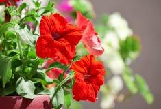 Maceta con la petunia roja Foto de archivo libre de regalías