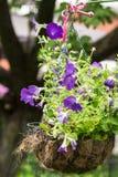 Maceta de la ejecución con las petunias violetas brillantes Imagenes de archivo
