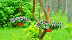 Macetas con las flores violetas de la petunia foto de archivo