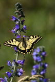 machaon бабочки Стоковое фото RF