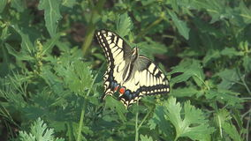 Machaon. stock video footage