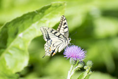 Machaon butterfly eating Royalty Free Stock Photo