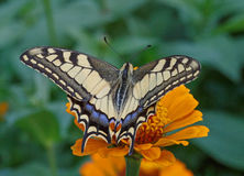 Machaon butterfly on flower Stock Image