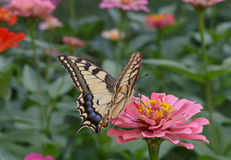 Machaon butterfly on flower Royalty Free Stock Photography