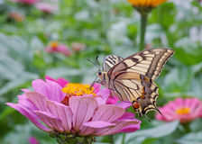 Machaon butterfly on flower Royalty Free Stock Image