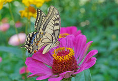 Machaon butterfly on flower Stock Photography