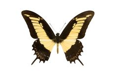 Machaon butterfly isolated on a white stock image