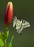 Machaon butterfly on Lily. Flower Stock Image