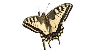 Machaon butterfly with open wings in, top view, isolated on whit royalty free stock images