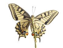Machaon butterfly with open wings in, top view, isolated on white stock photography