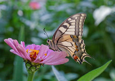 Machaon butterfly Stock Photo