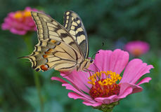 Machaon butterfly Stock Photos