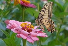 Machaon butterfly on pink zinnia Royalty Free Stock Image
