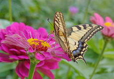 Machaon butterfly on purple flower Royalty Free Stock Images