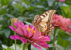 Machaon butterfly on purple zinnia Royalty Free Stock Image