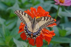 Machaon butterfly on red zinnia Royalty Free Stock Photos